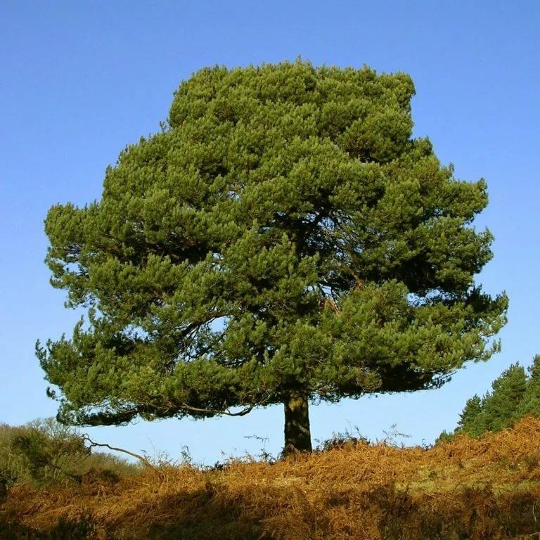 фотография соснового дерева более полутора